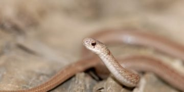 Brown Snake – Dream Meaning and Symbolism 53