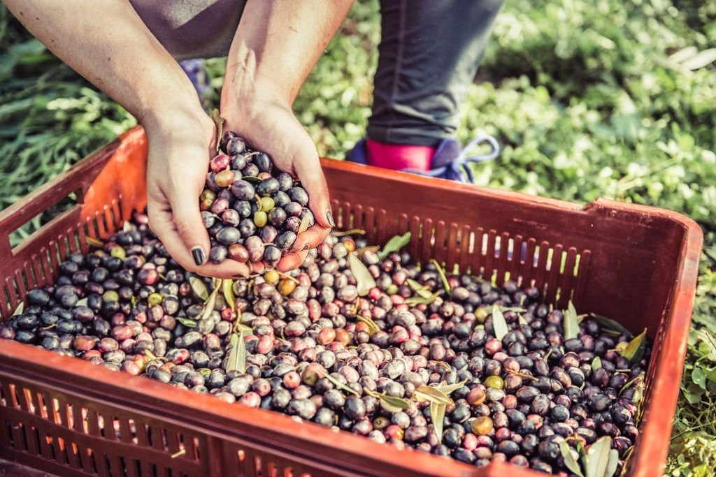 Collecting Olive