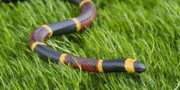 Coral Snake – Dream Meaning and Symbolism 93
