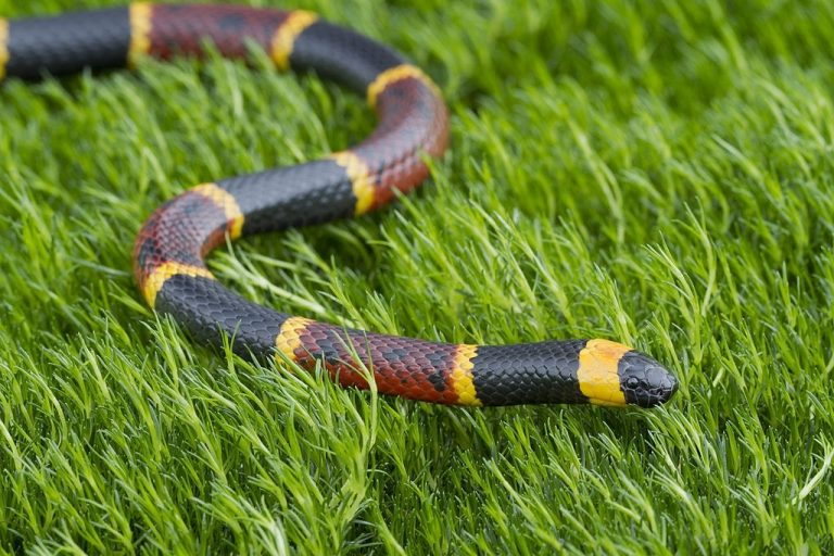 Coral Snake – Dream Meaning and Symbolism 1