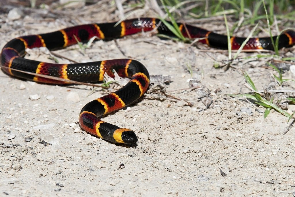 Coral Snake – Dream Meaning and Symbolism 3