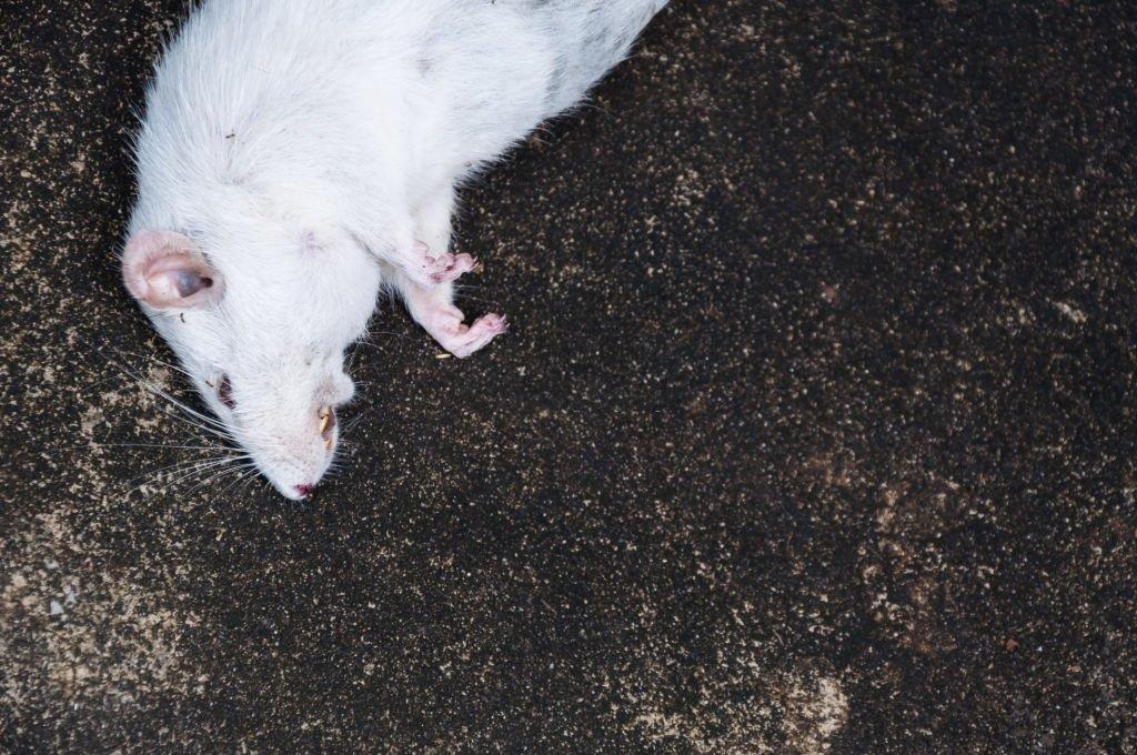 Dead White Mouse