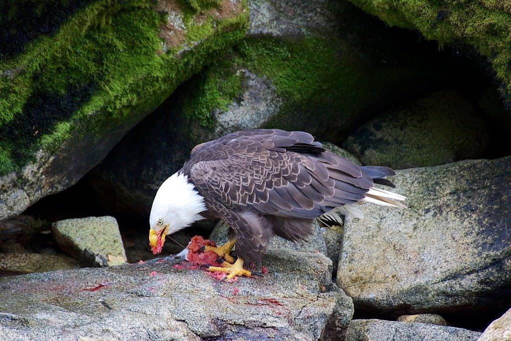 Eagle Devouring A Prey