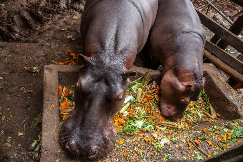 Feed A Hippopotamus