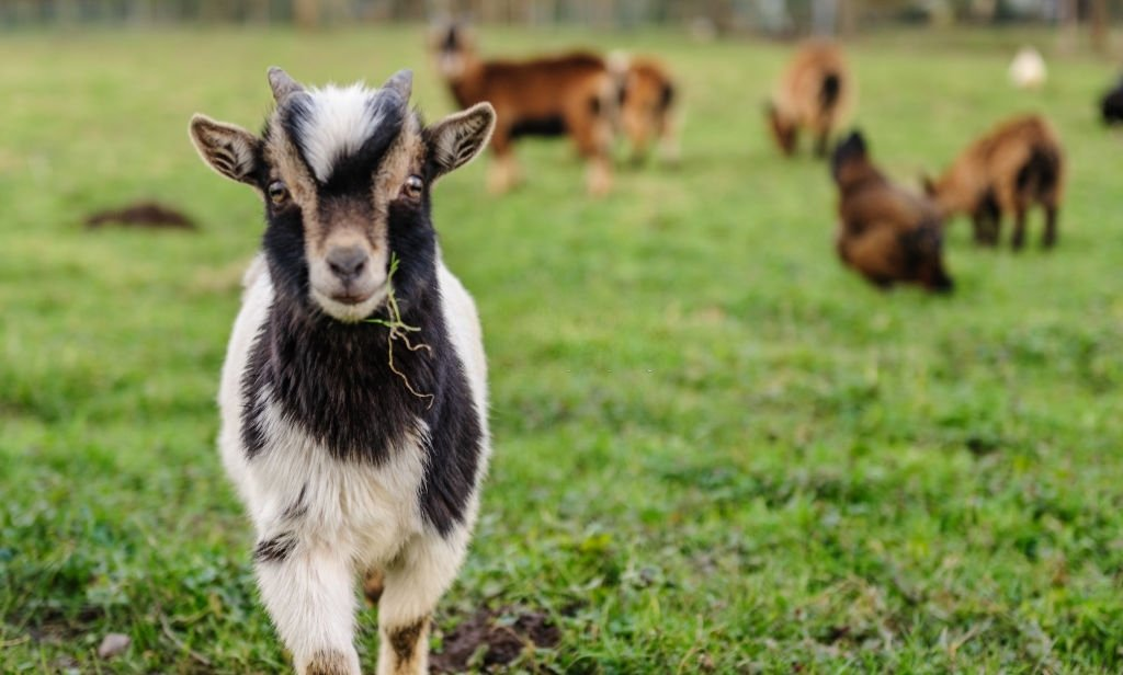 Goat – Dream Meaning and Symbolism 5