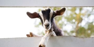 Goat – Dream Meaning and Symbolism 20