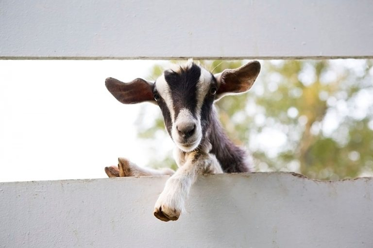 Goat – Dream Meaning and Symbolism 1