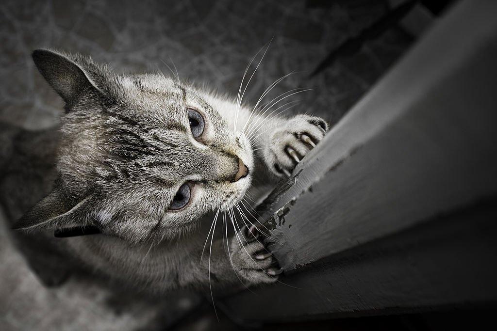 Gray Cat Scratching