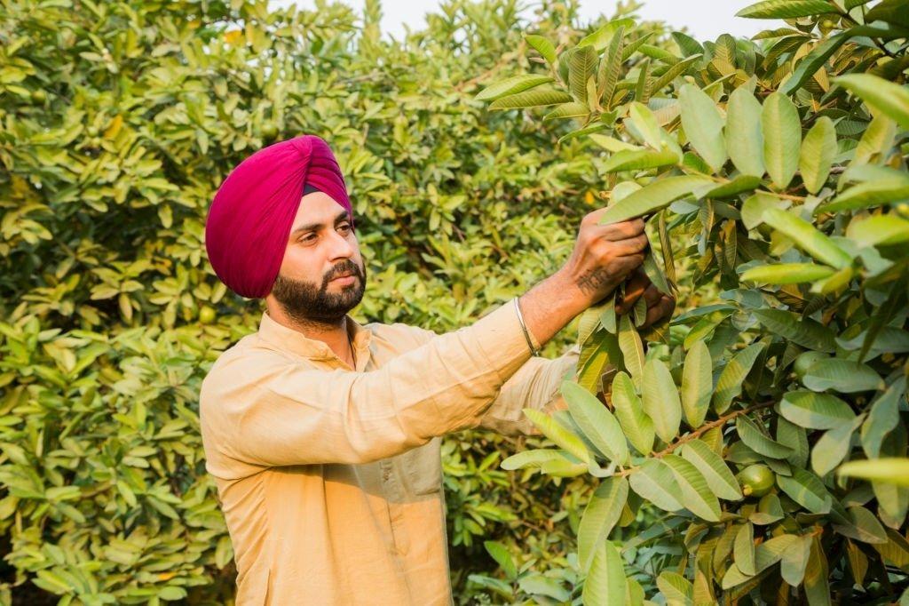 Harvest Guava