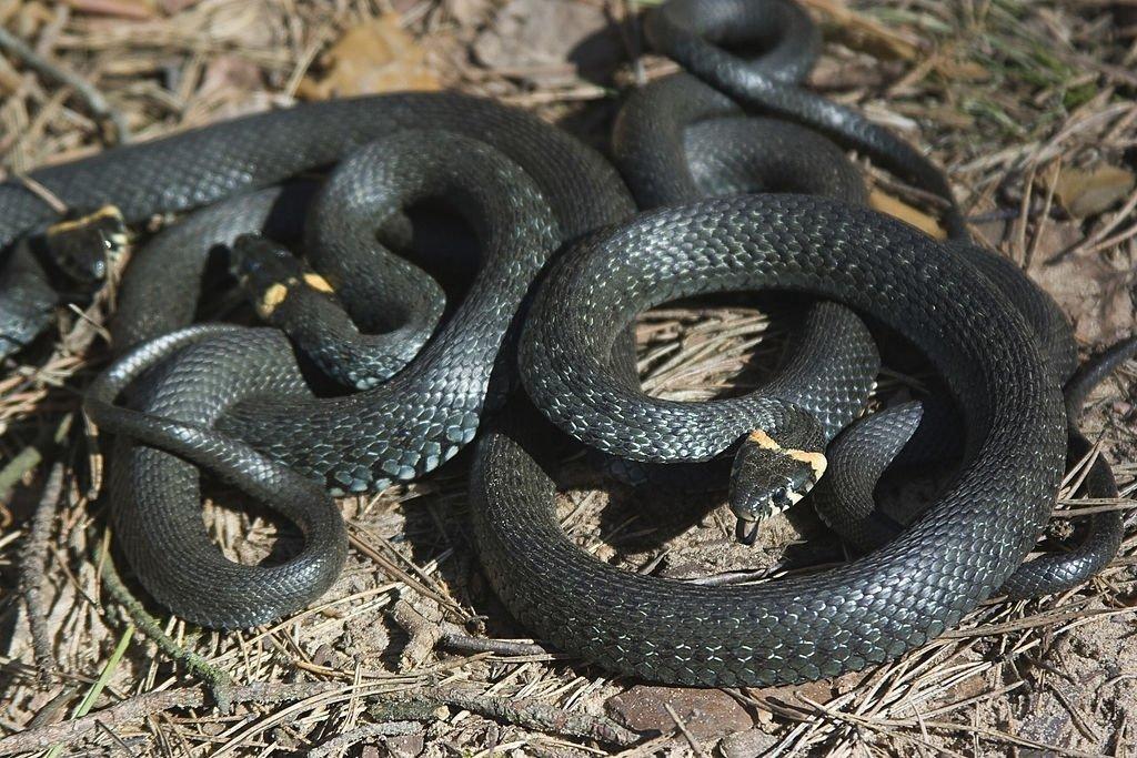 Muchas Serpientes – Significado Y Simbolismo De Los Sueños 4