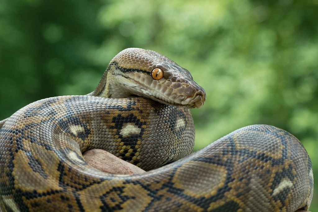 Muchas Serpientes – Significado Y Simbolismo De Los Sueños 3