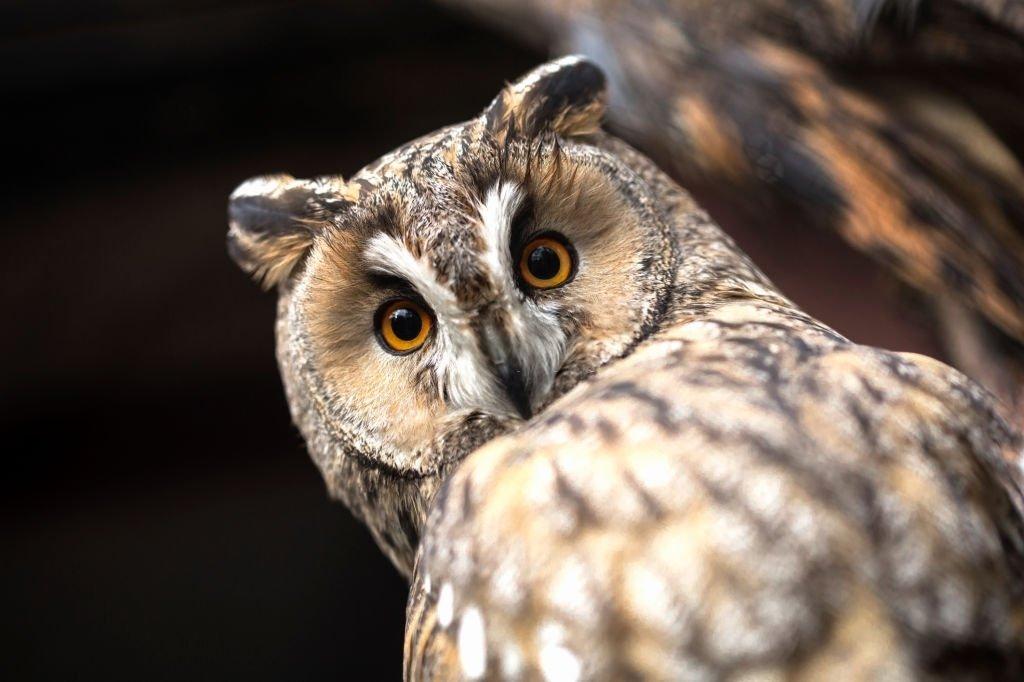 Meaning of Maori Owl