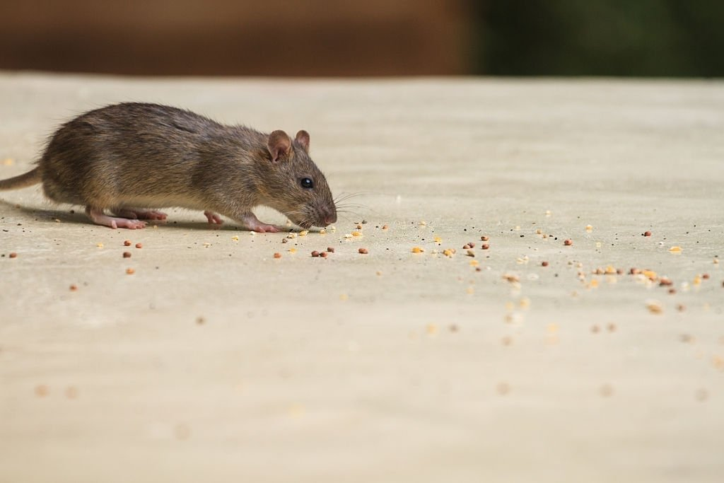 Mouse Chasing Food