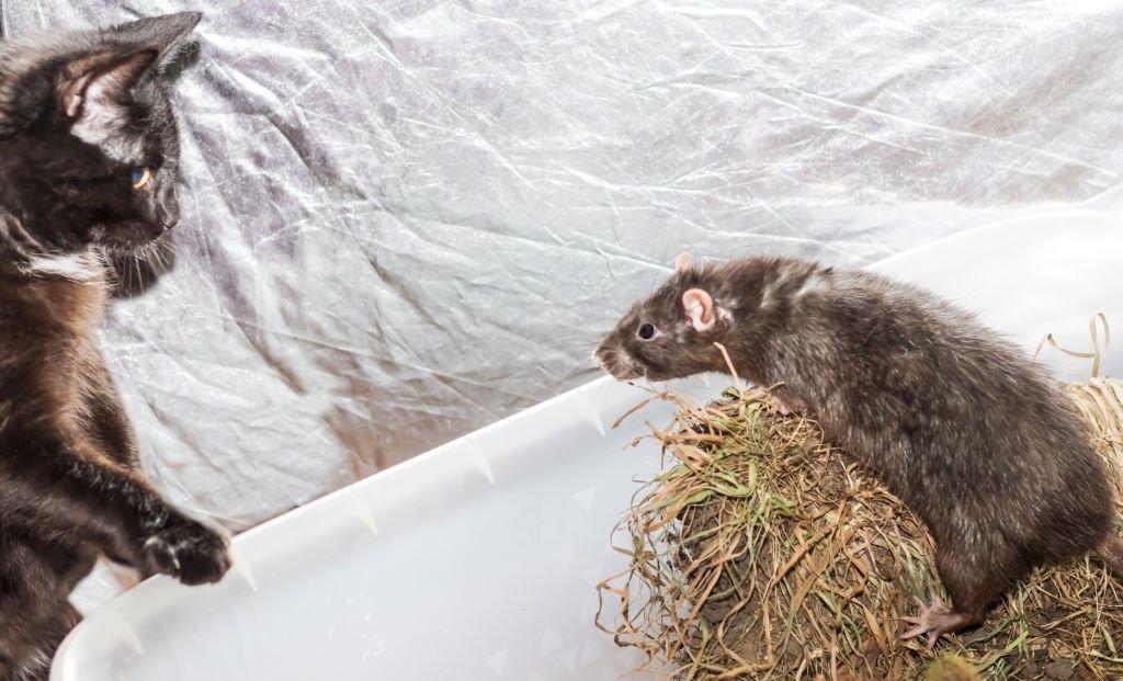 Ratón Que Corre – Significado Y Simbolismo De Los Sueños 4