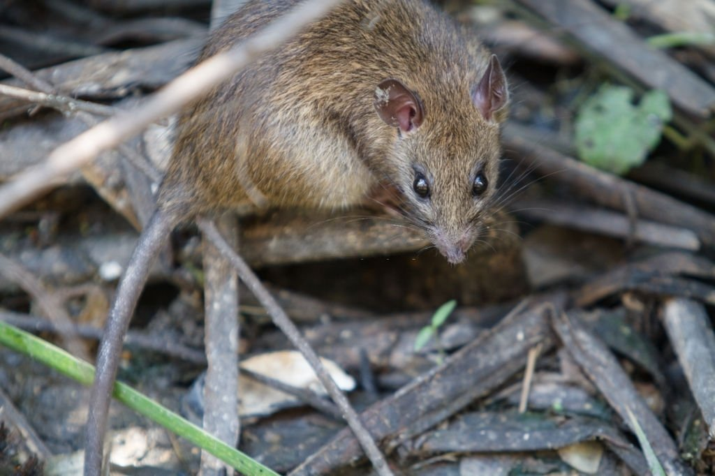 Mouse Running In The Wood