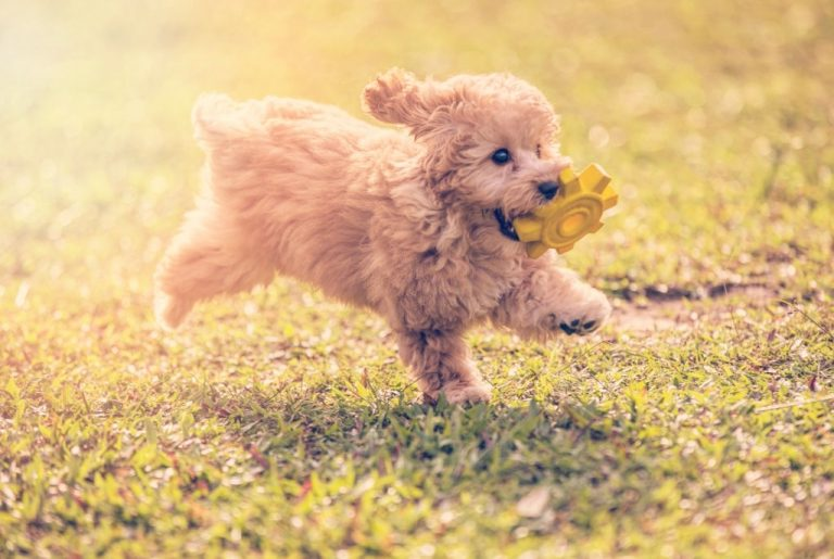 Puppy – Dream Meaning and Symbolism 1