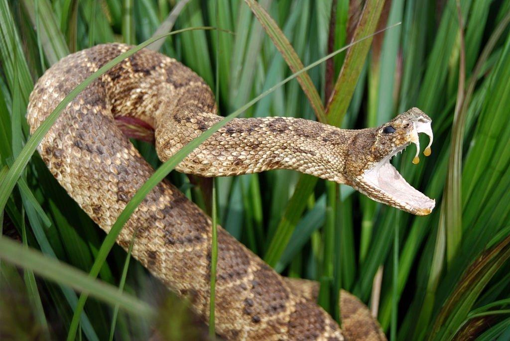 Serpiente De Cascabel – Significado Y Simbolismo De Los Sueños 4