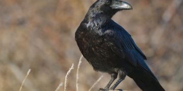 Raven – Dream Meaning and Symbolism 5