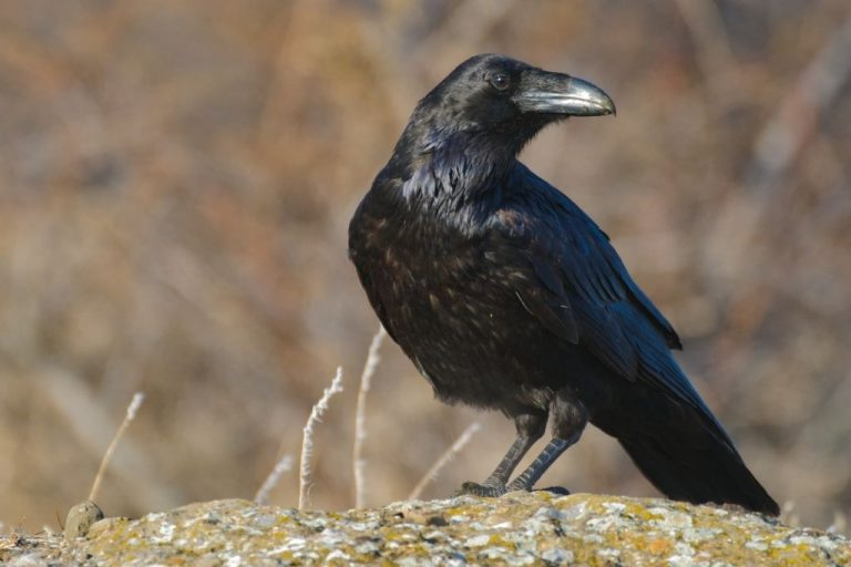 Raven – Dream Meaning and Symbolism 1