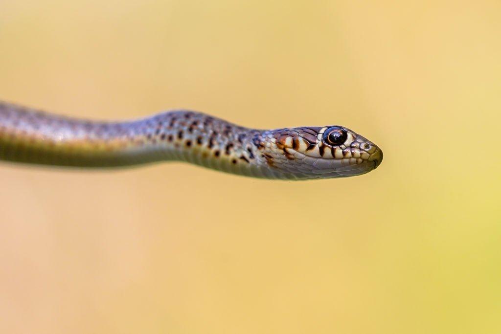 Small Cobra Snake