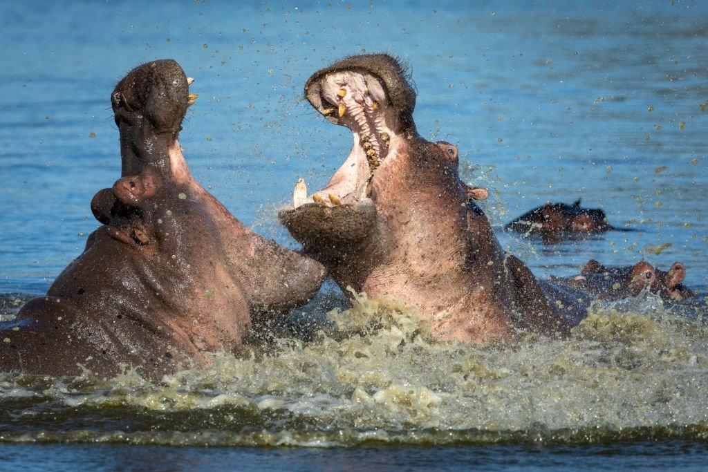 Two Hippopotamus Fighting