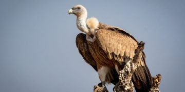 Vulture – Dream Meaning and Symbolism 15