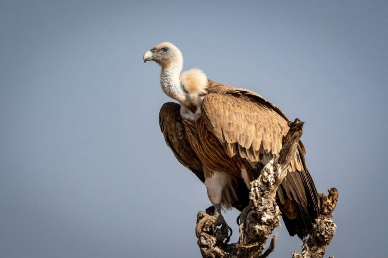 Vulture – Dream Meaning and Symbolism 1