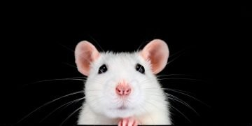 White Mouse – Dream Meaning and Symbolism 51