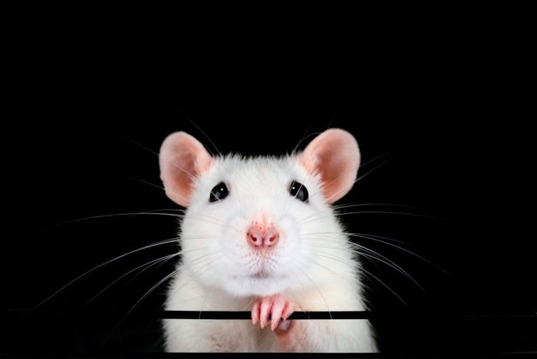 White Mouse – Dream Meaning and Symbolism 1