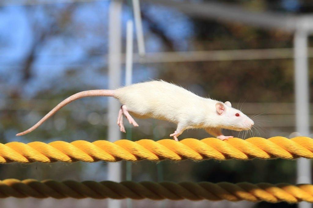 White Mouse Running