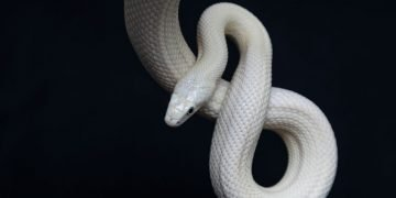 White Snake – Dream Meaning and Symbolism 70