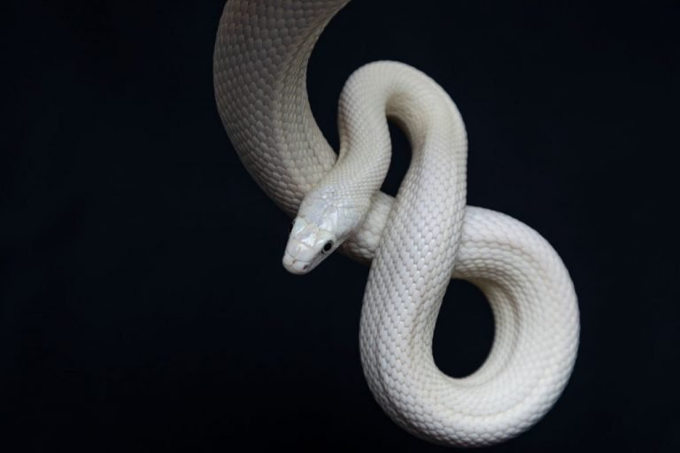 White Snake – Dream Meaning and Symbolism 1