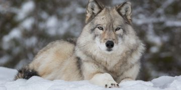 Wolf – Dream Meaning and Symbolism 97