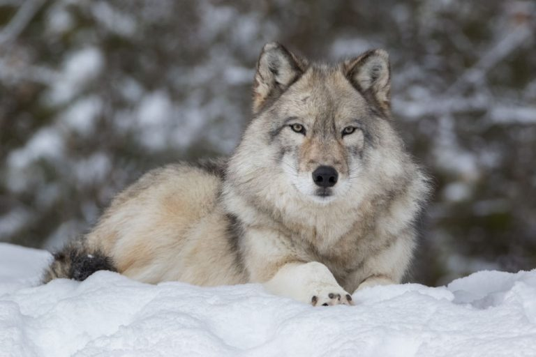 Wolf – Dream Meaning and Symbolism 1
