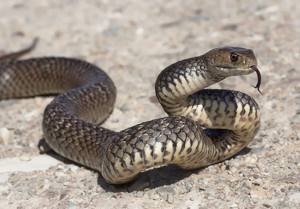 Serpiente marrón - Significado y simbolismo del sueño 5