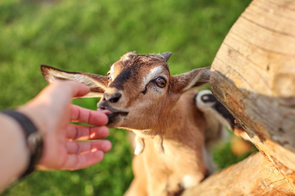 Goat – Dream Meaning and Symbolism 6