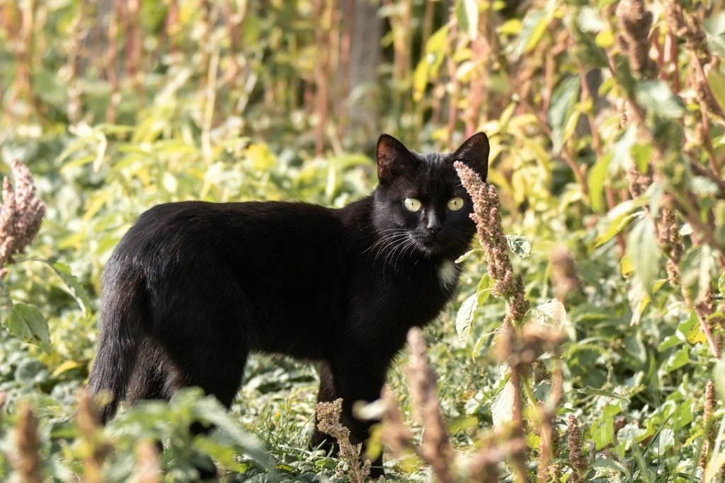 Black Cat – Dream Meaning and Symbolism 3