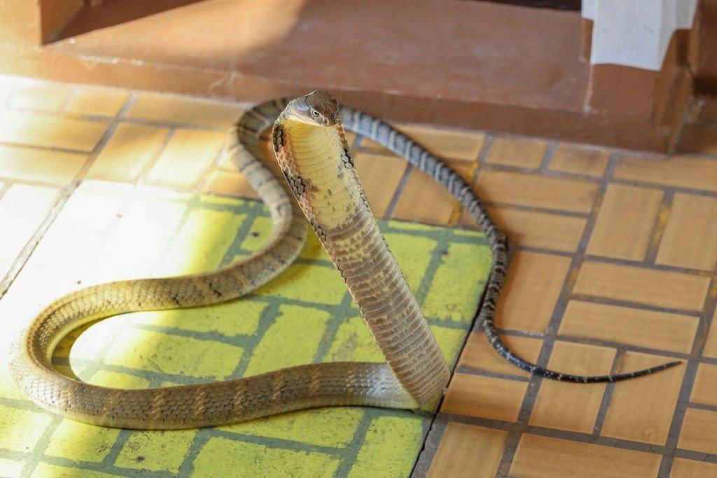 You See A Cobra Snake