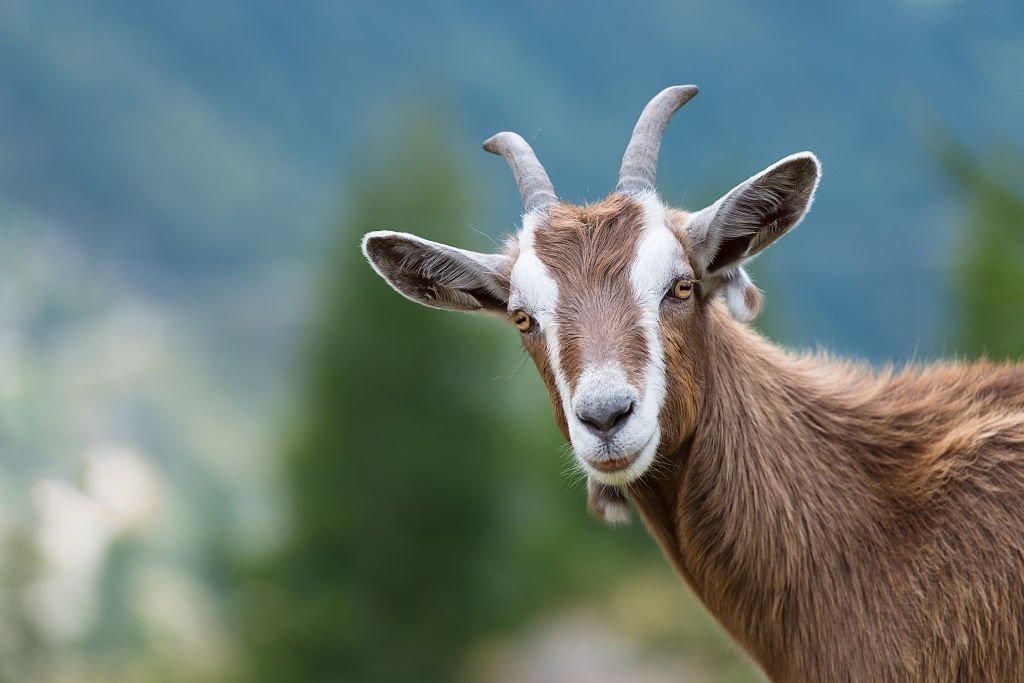 Goat – Dream Meaning and Symbolism 3