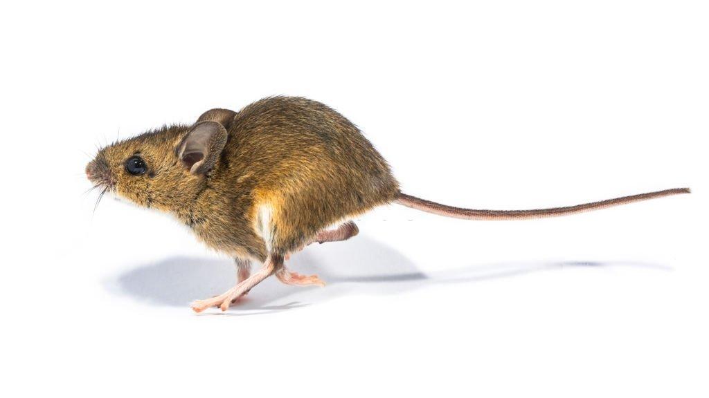Ratón Que Corre – Significado Y Simbolismo De Los Sueños 3