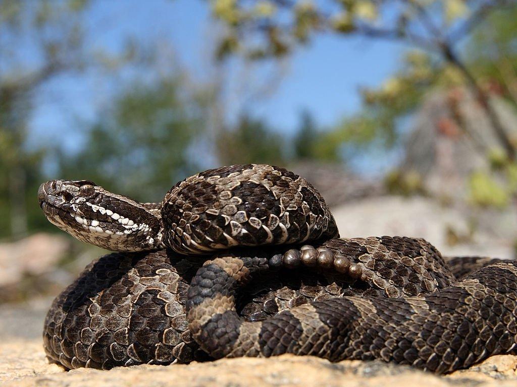 Serpiente De Cascabel – Significado Y Simbolismo De Los Sueños 3