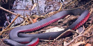 Red Snake – Dream Meaning and Symbolism 1